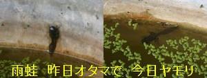 Iob_photo_hikuling_otamajyakusi_2pi