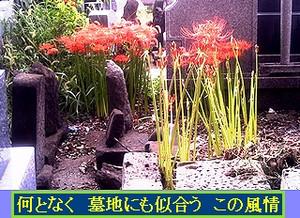 Iob_photo_hikuling_higanbana_bochi