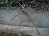 Kanamugura_root_1109