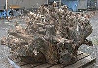 Big_root