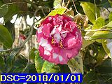 Iob_2018_kouhaku_tubaki