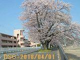 Iob_2018_hachiman_num_sakura_