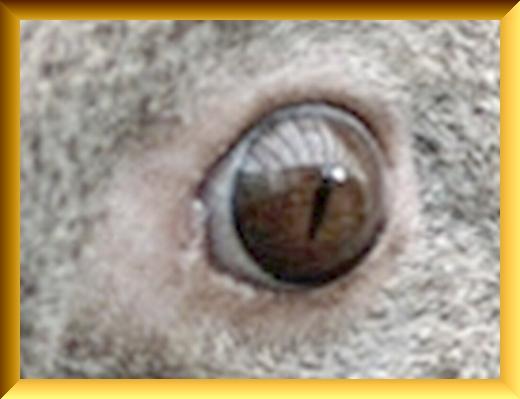 Iob_2021_koala_eye_in_pc_20210216