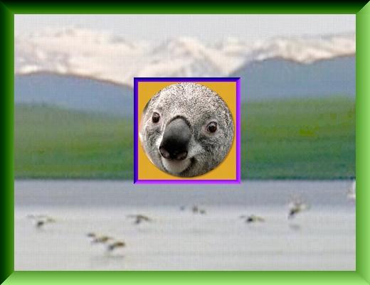 Iob_2021_koala_in_pic_20210216_2