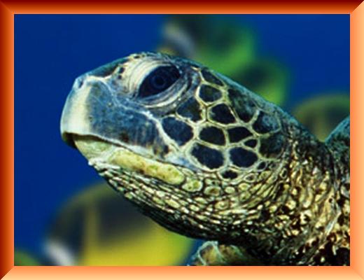 Iob_2021_green_sea_turtle_in_pc_202